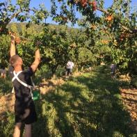 Ramassage abricots 3 - GLUN - 16 Juillet 2019